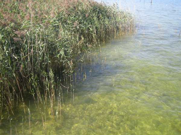 Reeds on the shore of an insland in Chiemsee