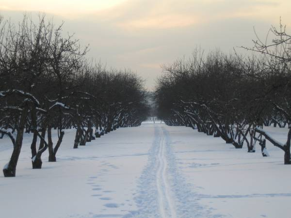 Cherry orchard at Kolomenskoe in winter